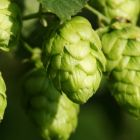 Hops: used for its soothing properties